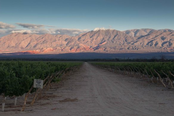Vineyard near Cafayate