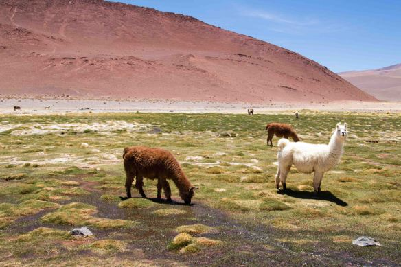 Llamas, Puna, Argentina