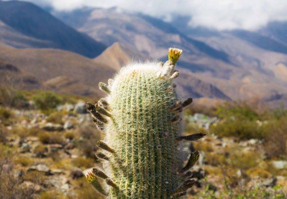 Cactus, Tilcara, Argentina